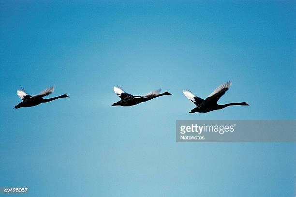 Black Swans in flight (Cygnus melanocorypha)