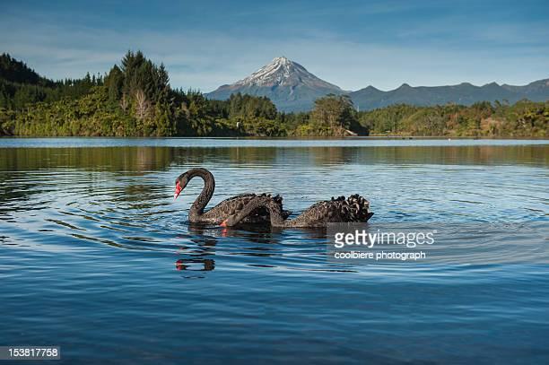 Black swans with Mt. Taranaki background