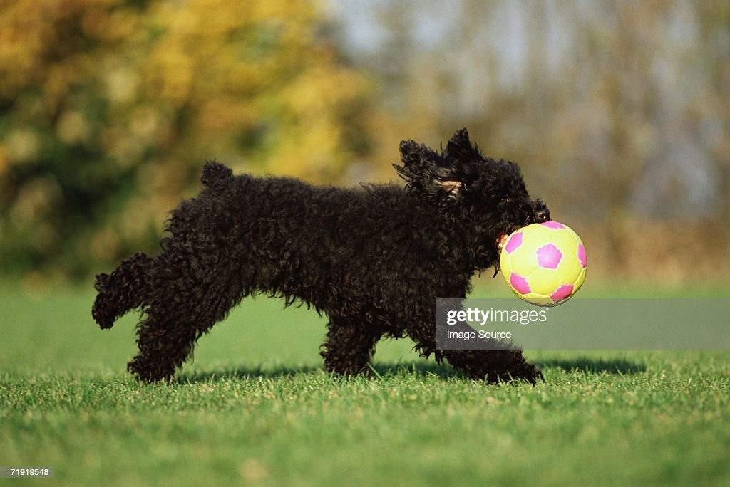 Black terrier playing with ball : Stock Photo