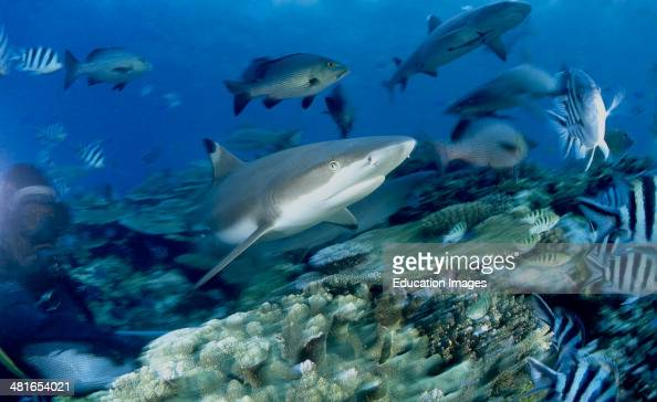 Black tip reef shark Carcharhinus melanopterus with reef fish is easily identified by the prominent black tips on its fins Among the most abundant...