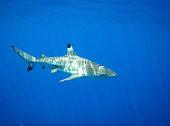 Black tip reef shark in water, Moorea