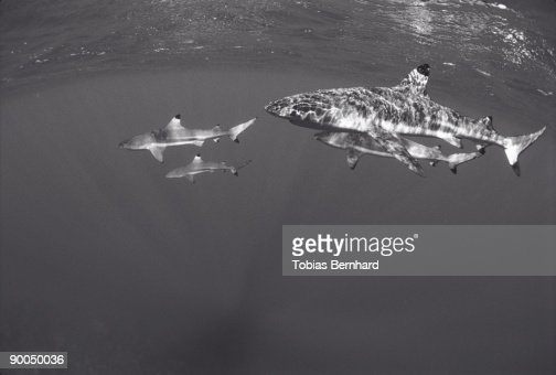 black tip sharks : Foto de stock