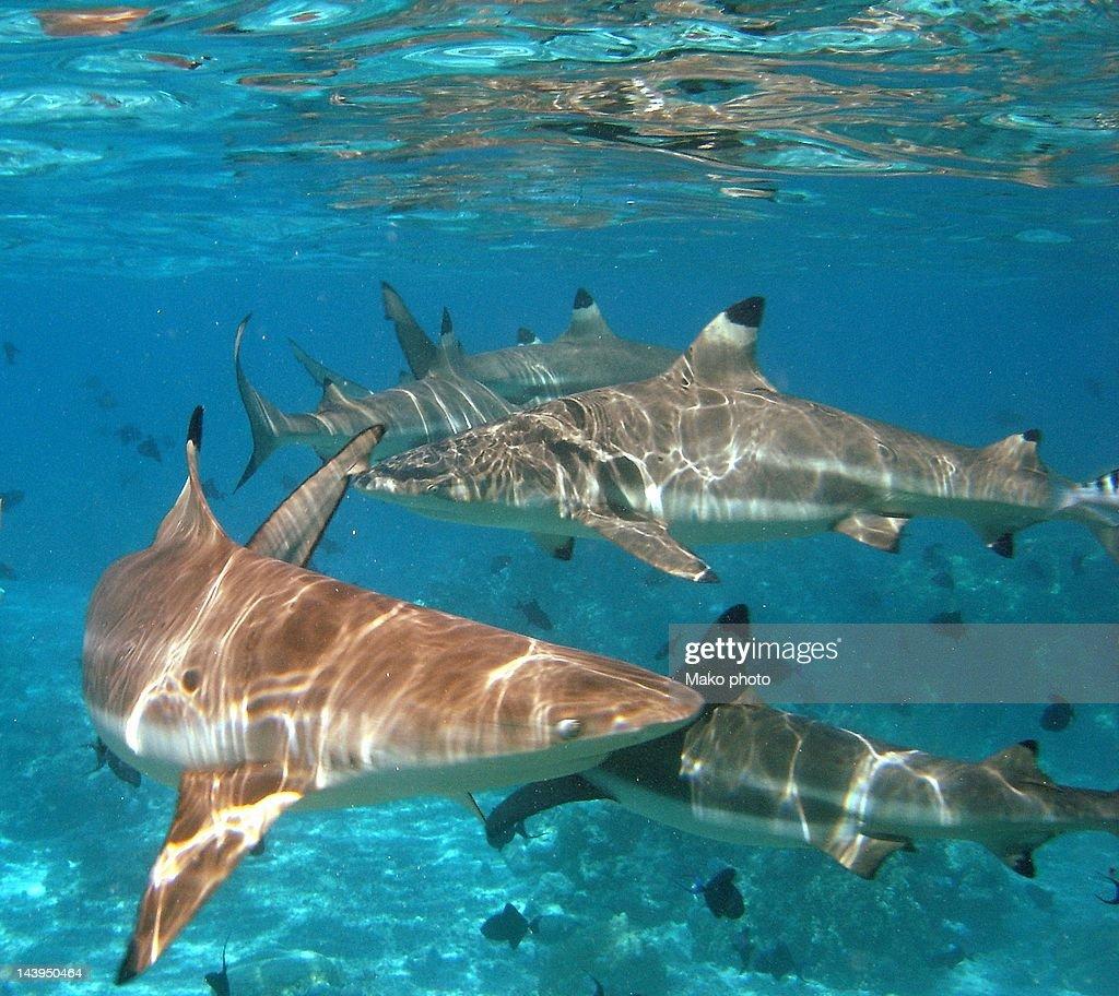 Black tipped sharks. Moorea : Stock Photo