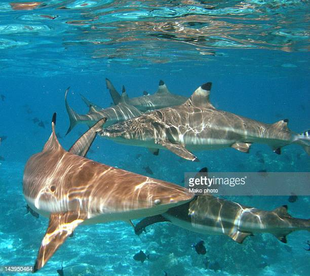 Black tipped sharks. Moorea