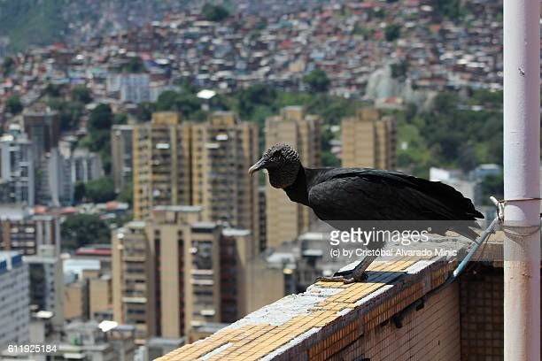 Black Vulture Watching The City