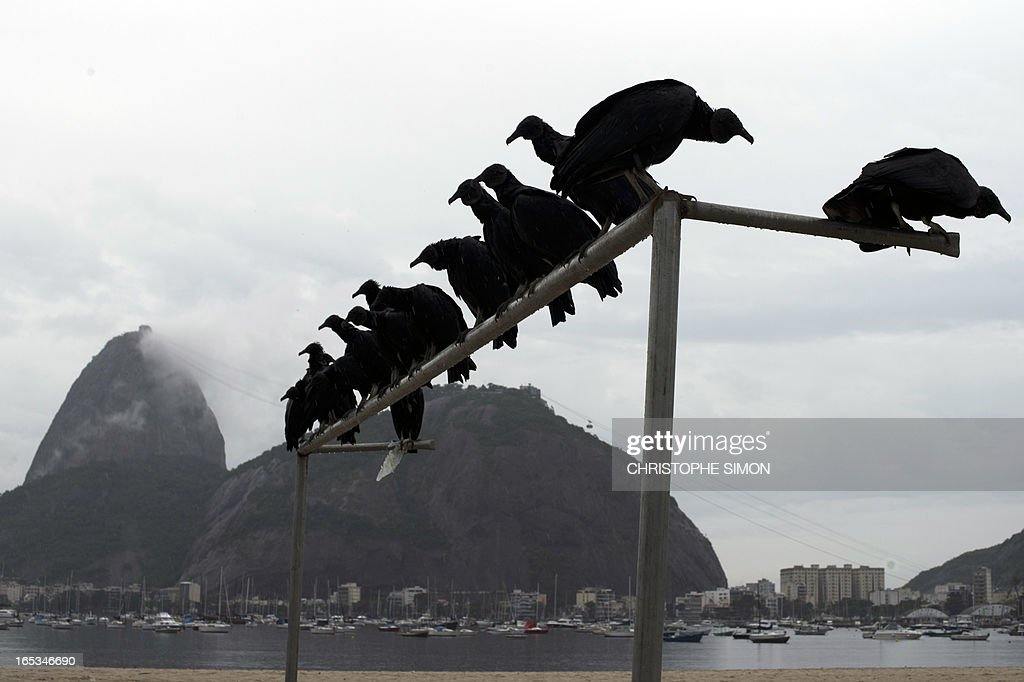 Black vultures (urubu) stand on a football goal on Botafogo beach, with the Sugar Loaf landmark on the background in Rio de Janeiro, Brazil on April 3, 2013.