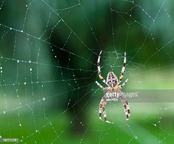 Black, white and yellow spider in the center of a wet web
