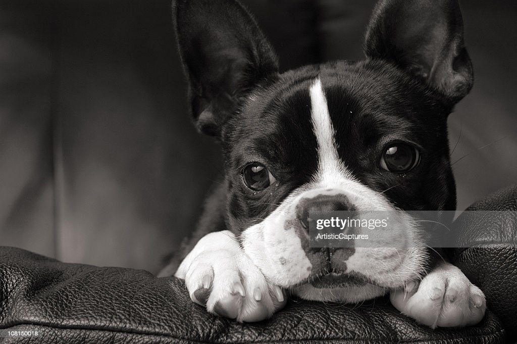 Close-up of Boston Terrier Dog Lying on Couch : Stock Photo