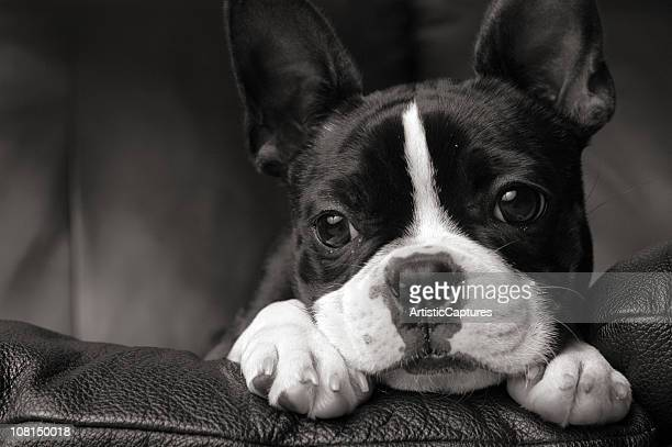 Black & White Close-up of Boston Terrier Lying on Couch