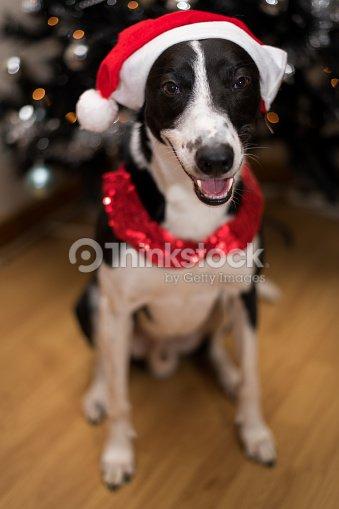 b6e113d2868f9 Black   White Dog Wearing a Santa Christmas Hat   Stock Photo