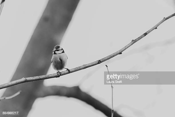 Black & white image of tit on leafless branch