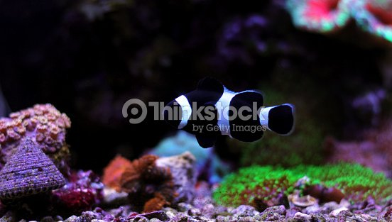 black white ocellaris clownfish stock photo thinkstock
