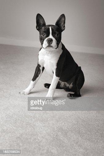 Black & White Portrait of Sitting Boston Terrier Dog