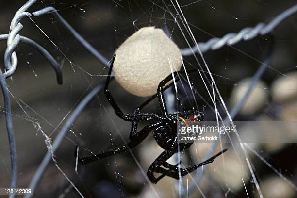 Black Widow Spider, Latrodectus hesperus, with egg case, Arizona, USA