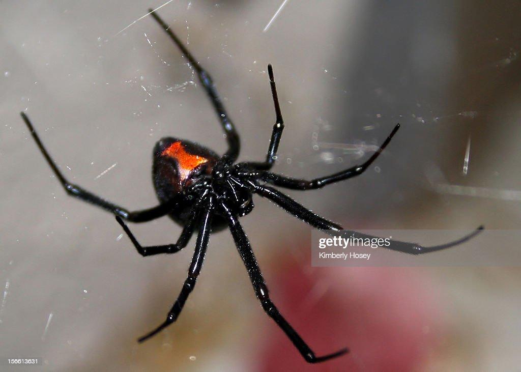 Black widow spider : Stock Photo