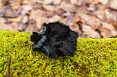 Black witches' butter (Exidia glandulosa) fungi growing on a moss covered log in winter.