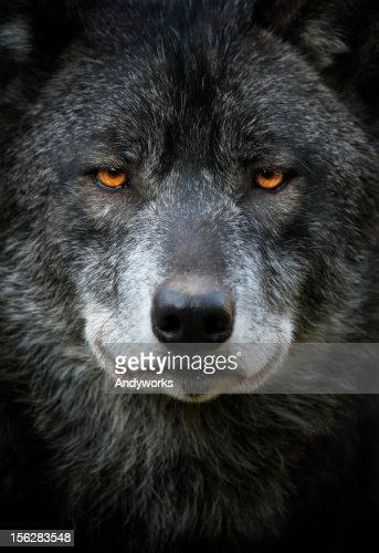 Black Wolf Portrait