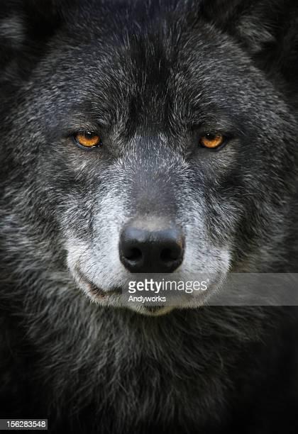 Noir Portrait de loup