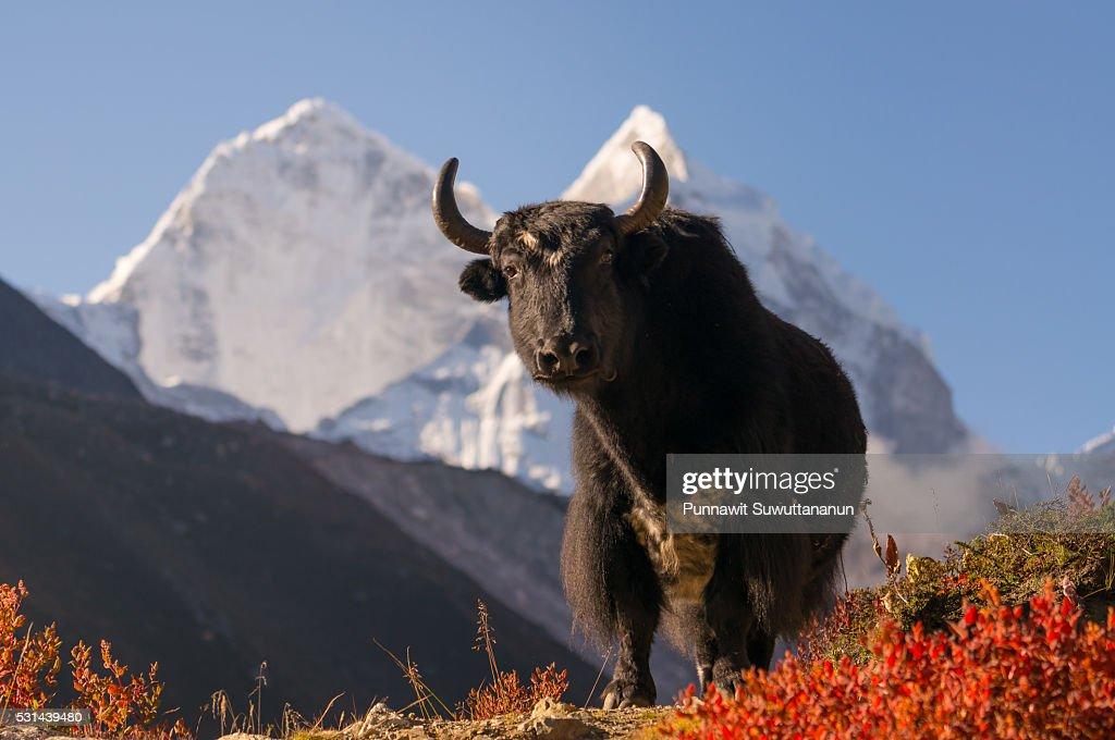 Black yak at Dingboche village in the morning, Everest region