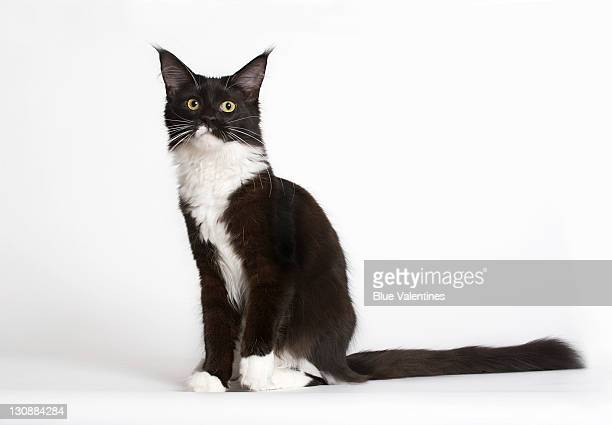 Black-and-white Maine Coon cat