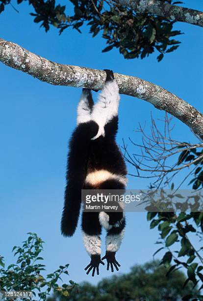 Black-and-white Ruffed Lemur (Varecia variegata) hanging from branch, Madagascar