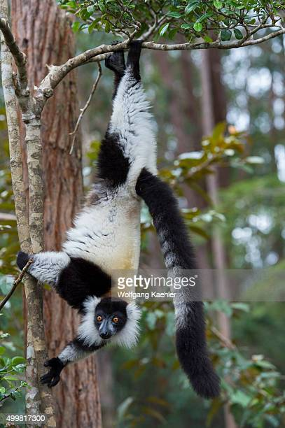 Blackandwhite ruffed lemur hanging from tree on Lemur Island near Vakona Lodge Perinet Reserve Madagascar