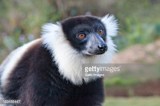 Black-and-White Ruffed Lemur (Varecia variegata variegata), Madagascar : Stock Photo