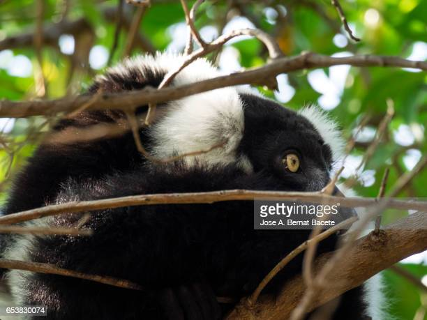 Black-and-white ruffed lemur,  (Varecia variegata)
