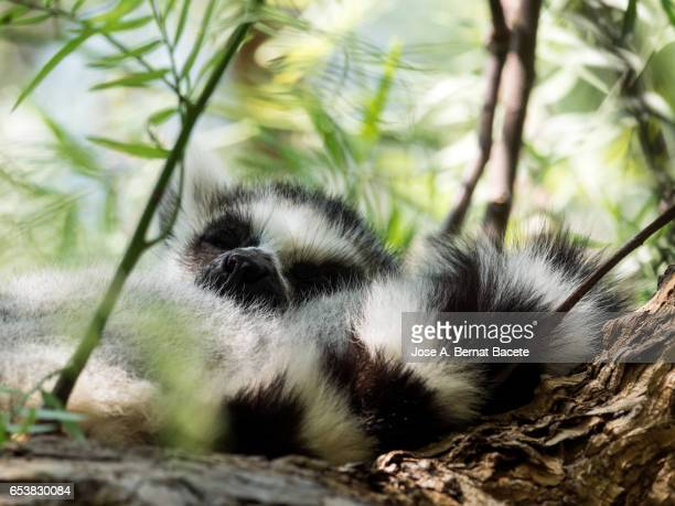 Black-and-white ruffed lemur, Young animal slept on a tree,  (Varecia variegata)