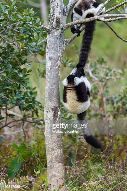 Blackandwhite ruffed lemurs playing in tree swinging on the others lemur tail on Lemur Island near Vakona Lodge Perinet Reserve Madagascar