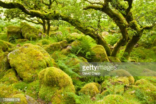 Black-a-Tor copse, rare relict example of ancient high-level woodlands on Dartmoor, England, United kingdom, UK, Europe : Stock Photo