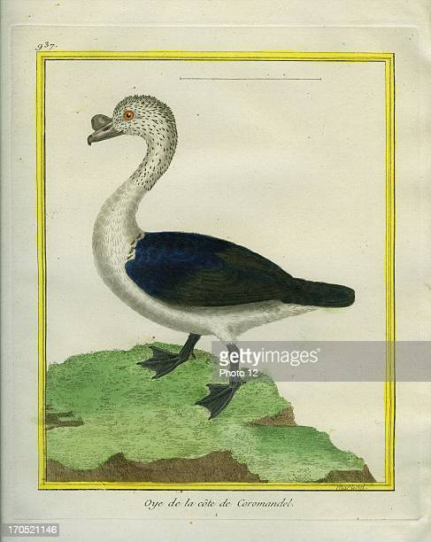 Blackbacked Goose Sarkidiornis melanonotusBlackbacked GooseGeorgesLouis Leclerc Comte of Buffon 'Natural History of birds fish insects and reptiles'...