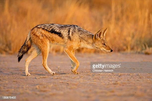 Black-backed Jackal (Canis mesomelas), Nxai Pan, Makgadikgadi Pan National Parbackedk, Botswana, Africa