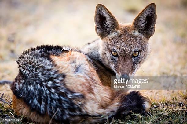 Blackbacked jackal resting