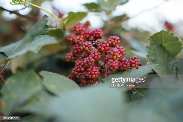 Blackberries growing and ripening on the twig
