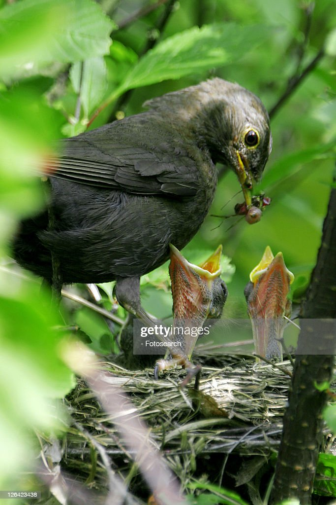 blackbird, animals, birds-nest, bill, beak, alfred