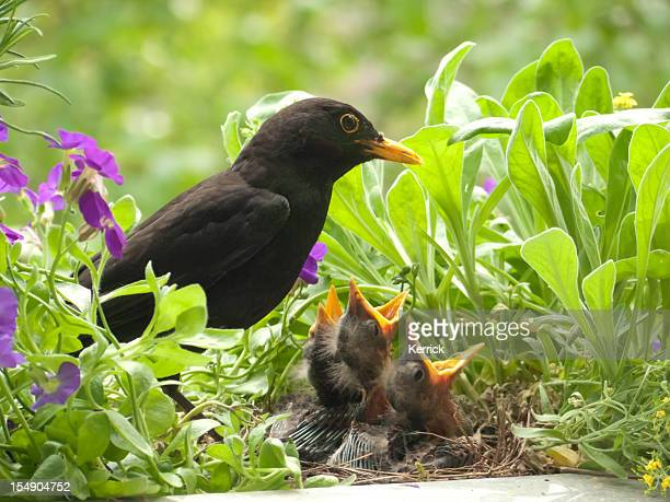 Blackbird babies and  father
