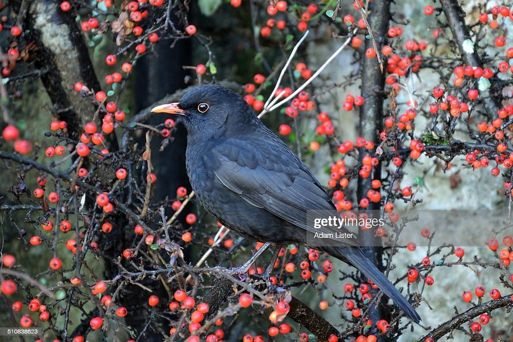 Blackbird in the Berries