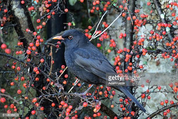 Blackbird in the Berries