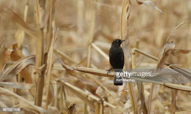 Blackbird perched on dried corn stalk, blurred background