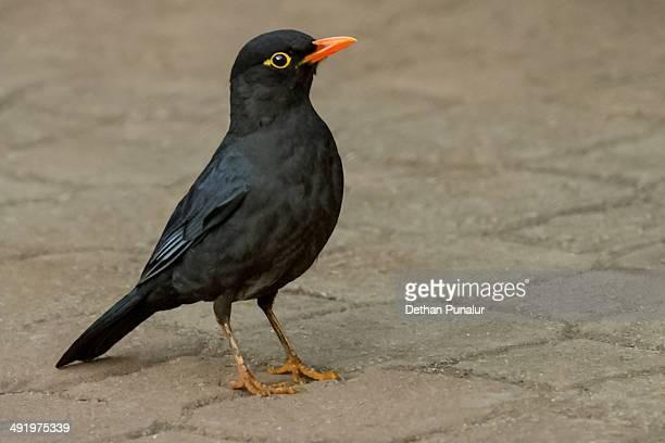 Blackbird setting