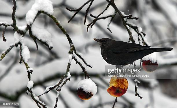 A blackbird sits on a snowcovered apple tree in Kaufbeuren southern Germany on December 26 2014 AFP PHOTO / DPA / KARLJOSEF HILDENBRAND GERMANY OUT