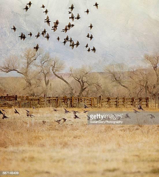 Blackbirds and farmland