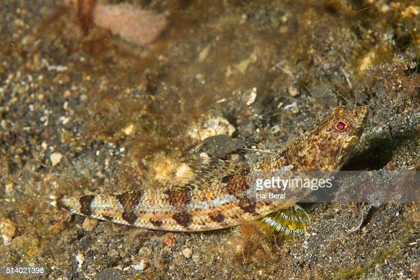 Blackblotch Lizardfish