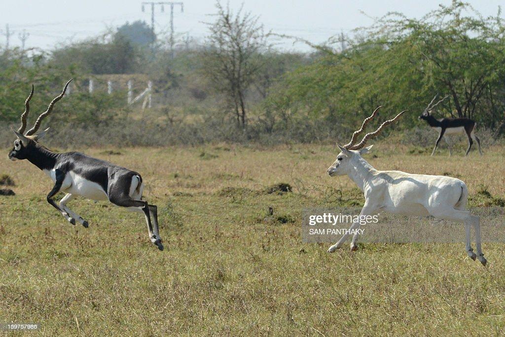Blackbucks roam a field near Medha village of Kadi Taluka, some 35 kms. from Ahmedabad, on January 19, 2013. Blackbucks, listed as 'endangered' in the Wildlife Act, are native to the Kadi region of India's Gujarat state. AFP PHOTO / Sam PANTHAKY