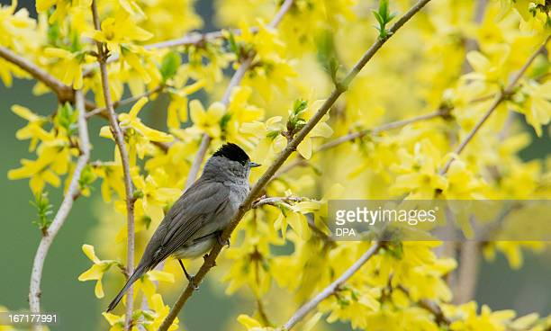 A blackcap sits on a flowering forsythia branch on April 22 2013 in Hannover Germany AFP PHOTO / JULIAN STRATENSCHULTE /GERMANY OUT