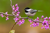 Black-capped Chickadee (Poecile atricapillus) perching on a Redbud Tree