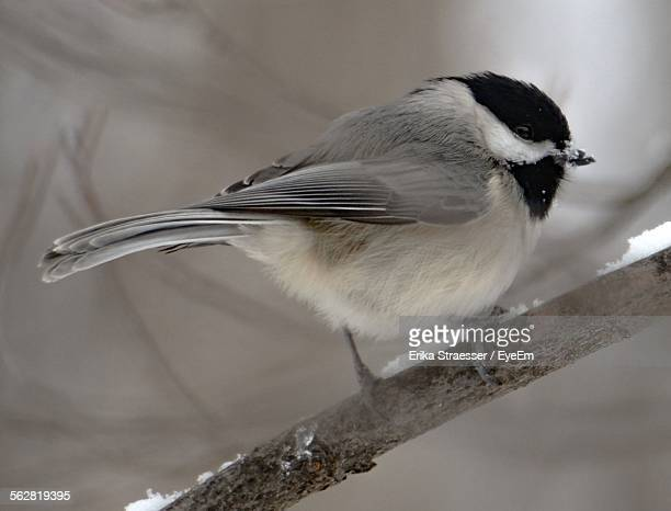 Black-Capped Chickadee Perching On Tree