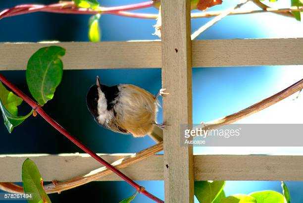Blackcapped chickadee Poecile atricapillus on fence in garden On cold nights it can reduce its temperature by 10 or 12 degrees to save energy...