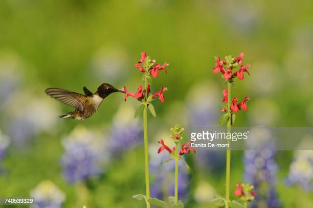 Black-chinned Hummingbird (Archilochus alexandri) feeding on blooming Scarlet betony (Stachys Coccinea), Hill Country, Texas, USA
